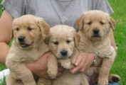 Stunning Genuine Golden Retriever Puppies For Sale