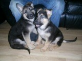 German Shepherd pups for sale. Pure Bred.