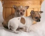 Chihuahua Pups X-Mass