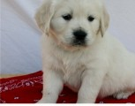 kind golden retriever puppy for sale