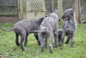 Top Class Irish Wolfhound Puppies