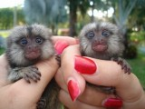 Adorable Marmoset Monkeys For Sale