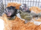 Gorgeous Marmoset Monkeys For Sale