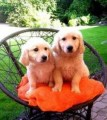 Adorable and Cute Golden Retriever puppies For Sale