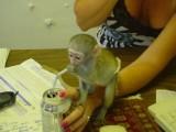 Beautiful Usda Capuchin Monkeys Available