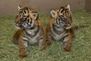 Gorgeous Tiger Cobs For Sale
