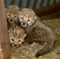 Home Train Tiger and Lion Cubs