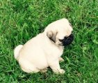 Outstanding Super kc registered St. pug puppies Ready Now