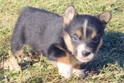 Pembroke Welsh Corgi puppies available for sale