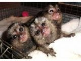 Marmoset Monkeys Ready for sale