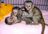 capuchin available foe sale