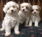 Super Adorable maltipoo puppies