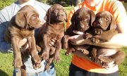 Chocolate Lab Puppies are Ready to Go