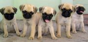 Indoors Pug Dogs