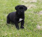 Cane Corso puppies For Sale.