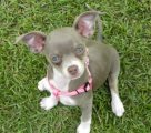 Chihuahua Purebred Puppy for sale