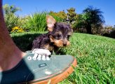 Precious Yorkshire terrier Puppies available