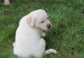 Wonderful Labrador Retrievers puppies