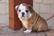 English Bulldog puppies.