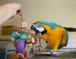 Gorgeous Tamed & Talking Blue & Gold Macaw now for sale