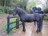 الحصان الفريزي الحصان للبيع