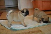 Cute and Lovely Pug Puppies