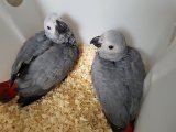 Adorable Handreared Baby African Grey Parrots