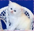 Splendid Looking Persian Kittens Ready For Valentine's sale.