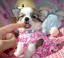 Charming chihuahua puppies ready for sale