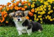 Beautiful Welsh Corgi Puppies For Sale
