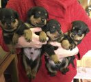 Exceptional Rottweiler puppies
