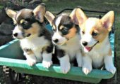 Cute Pembroke Welsh Corgi Puppies Available
