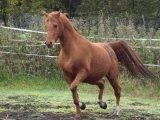 Male and Female Arabian Horse For Sale