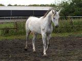 Cute Male and Female Arabian Horse For Sale