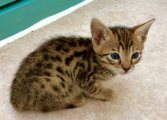 Well Trained F1 Savannah Kittens For Sale.