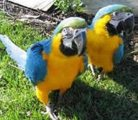 Cute Talking Blue and Gold Macaw For Sale
