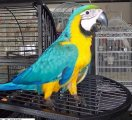Talking Blue and Gold Macaw For Sale