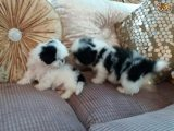 Shih Tzu Puppiesb Ready
