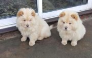 M/F Chow Chow puppies