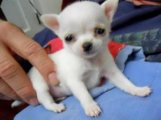 Two lovely Chihuahua puppies Available