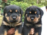 Rottweiler male and female for good home