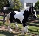 Amazing gypsy filly