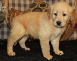 Charming Golden Retriever Puppies For Adoption