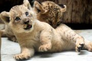 Well train baby lions for sale