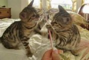 Home trained male and female bengal kittens Available