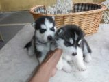 Siberian Husky puppies for home