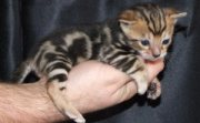 Bengal Kittens Available