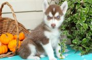 Ready Now Siberian Husky Puppies for sale.