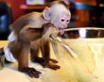 Capuchin Monkey for Re-homing