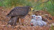 زوج من الصقر مع البيض والرضع الخصبة